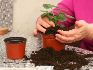 Адаптація куплених кімнатних рослин