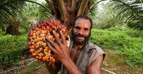 """Результат пошуку зображень за запитом """"olio di palma"""""""
